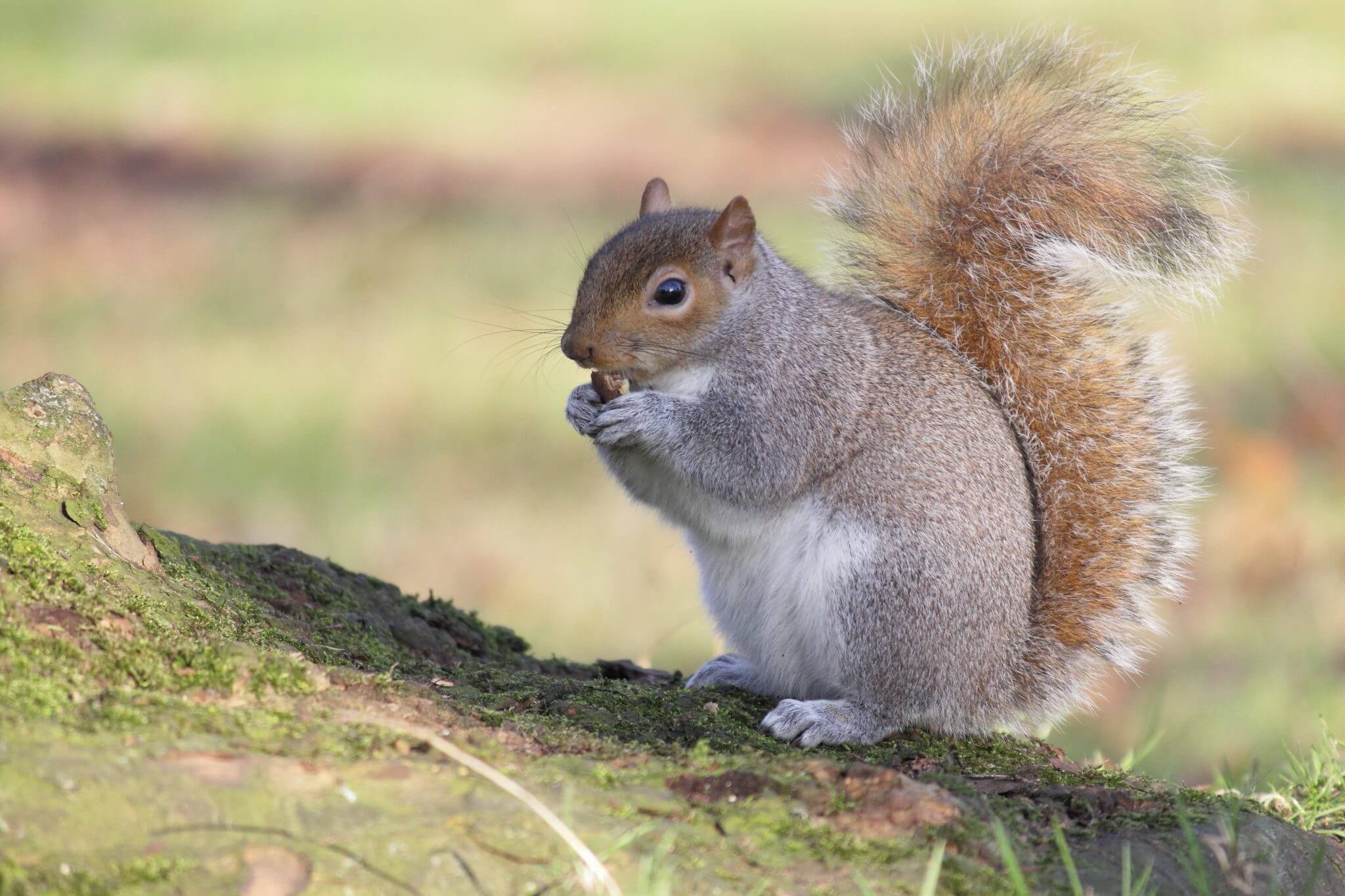 Squirrel Removal Services In Acworth Ga Canton Woodstock