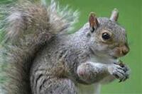 squirrel removal Atlanta
