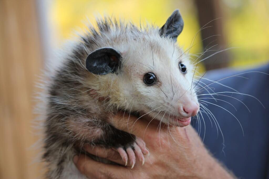 Opossum Control