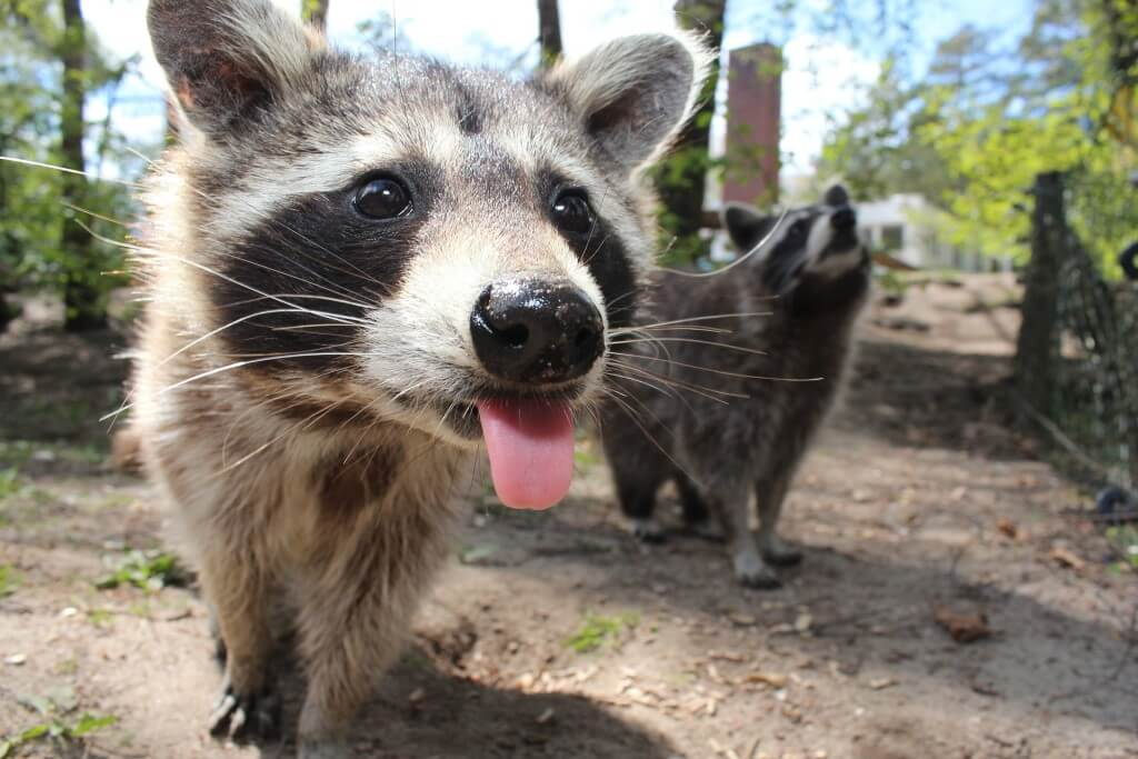raccoon critter busters