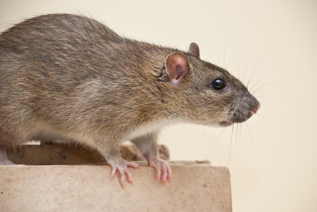 Rat Removal Services In Acworth Ga Canton Woodstock