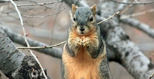 atlanta squirrel image