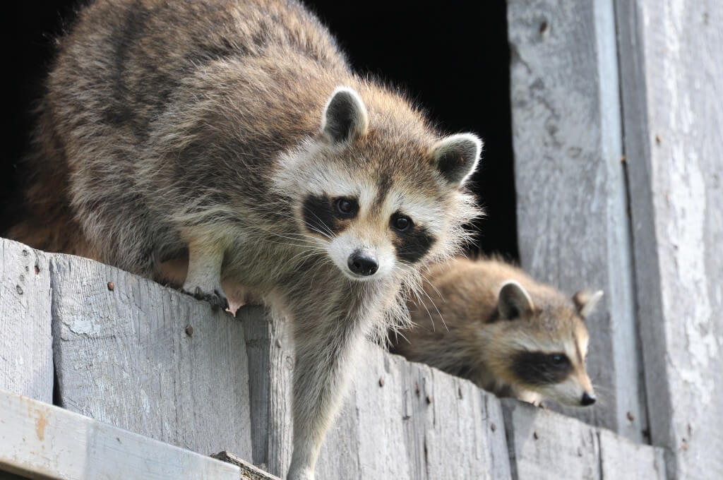 critter busters raccoon